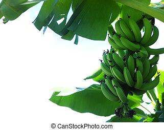 Banana tree - A bunch of unripe banana hanging on tree