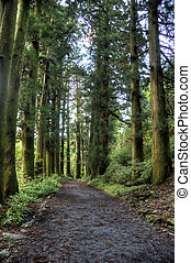 Cedars in walking road - Hiking path in Japan Hakone near...