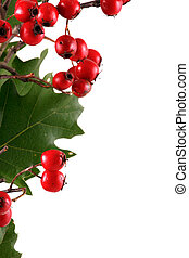 Christmas background - Oak branch with red berries, isolated...