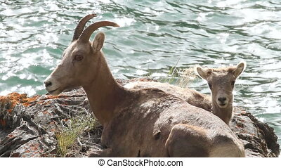 Mountain Sheep with Lamb 03 - Female Big Horn sheep with...