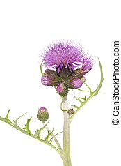 thistle - purple prickly flower thistle on white background