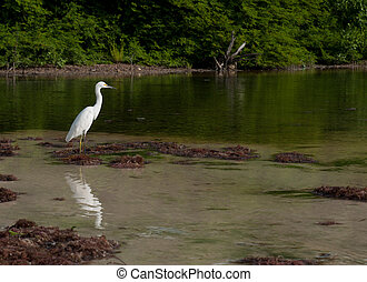 Heron - white Heron bird in a tropical lake wildlife scenery...