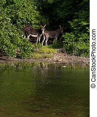 Donkeys - beautiful donkeys next to a lake in a wildlife...