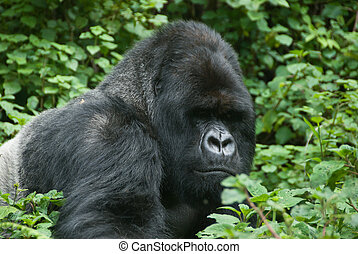 Gorilla in the forest - The view of a gorilla moving around...