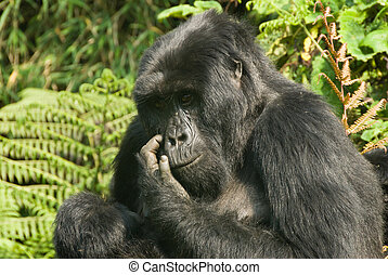 Itchy face - Close up on a gorilla scratching its face,...