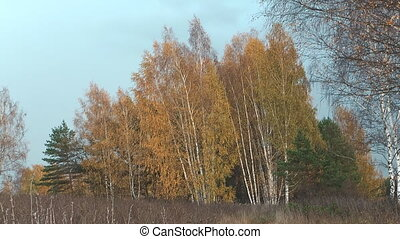 Autumn - Autumn landscape with birch trees