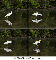 Heron - sequential pictures of a white Heron bird in a...