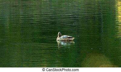 wild duck 7
