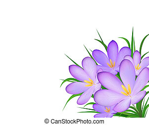 crocus - Illustration of crocus isolated on white background...