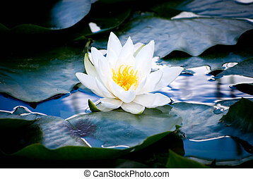 Water Lily - Lovely water lily with soft, cozy colors and...