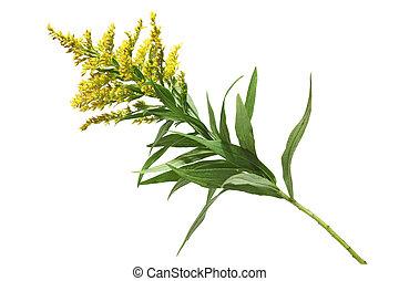 Goldenrod  - Solidago canadensis Goldenrod flower