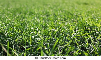 fresh green grass on the field