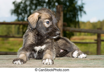 Irish wolfhound puppy lying on the table