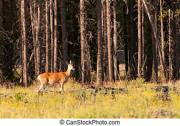 Deer sticking out tongue - Deer in woods during sunset...