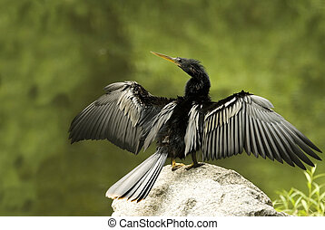 Cormorant Drying Wings Full - A Cormorant bird drying its...