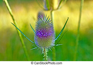 beautiful thistle in wild flower meadow