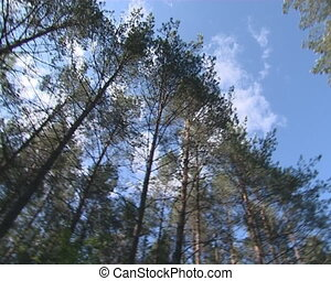 Pine forest tops. Camera is rotated