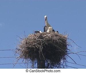 Family of storks nest on electric - Family of storks in nest...