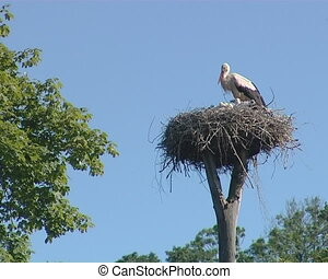 Stork with small storkies in nest