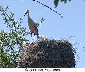 Stork with long legs sitting on the nest. Stork family.
