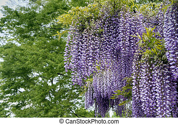 wisteria - Wisteria trellis