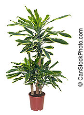 houseplant sansevieriya in brown pot isolated on white...