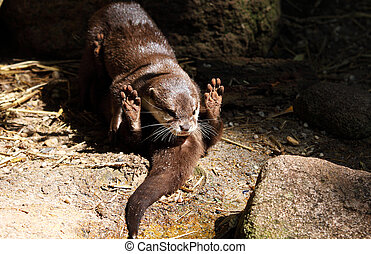 Lutra lutra - two european otters playing outdoors