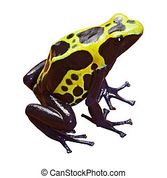 poison dart frog with bright yellow black and blue colors,...