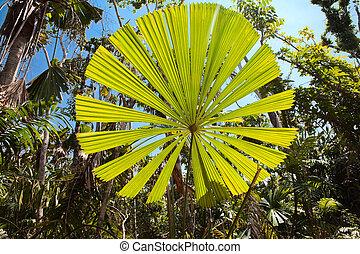 palma, árvore, folha