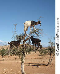 Goats in Argan tree, Morocco