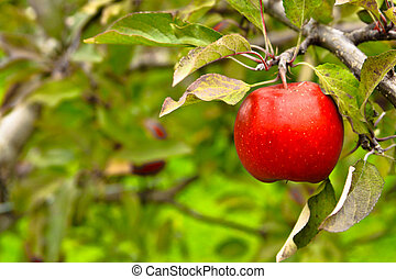 Apple hanging on tree in orchard - Bright red apple in...