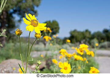 Yellow Flower Coreopsis in New Mexico Desert US - Coreopsis...