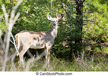White Tail Doe in forested area looking