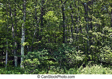 Beautiful trees in dense forest in the popular Blue Ridge...