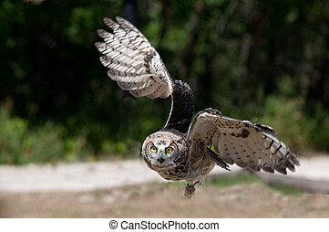 Great Horned Owl - A young Great Horned Owl flying low over...