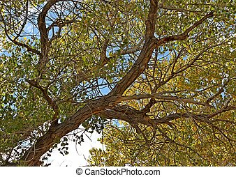 Underneath a cottonwood tree - Looking up into the large...