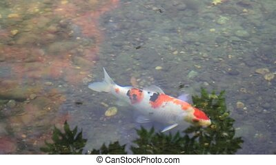 Koi Fish Pond with Water Reflection