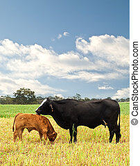 mother and baby cow Australian bred beef cattle on...