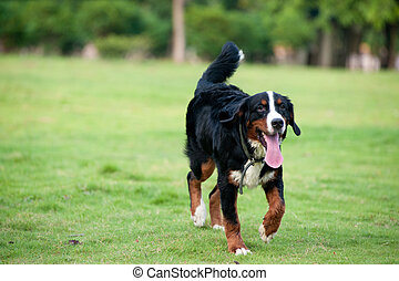 Bernese mountain dog walking on the lawn