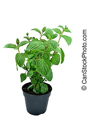 Potted mint plant - Mint plant in a plant pot on white...