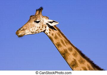 jirafa, cabeza