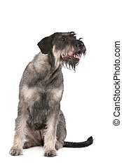 giant schnauzer in front of a white background