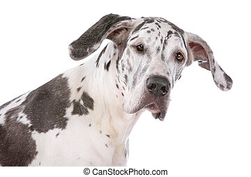 great dane harlequin in front of a white background