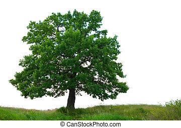 oak tree  over white background
