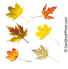 hojas, aislado, Colección, otoño, Plano de fondo, blanco