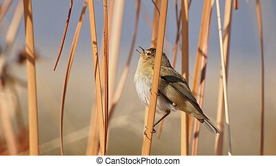 Chiffchaff on cane, phylloscopus collybita