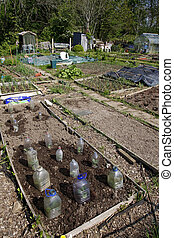Allotment in Spring - Allotment beds in Spring