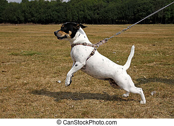 Small dog pulling on a lead - Small white dog pulling on a...