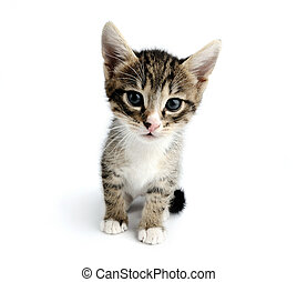 Pet - An image of a little kitten on white background