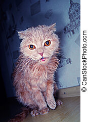 scotish fold cat - scotish fold the short-haired cat wet and...